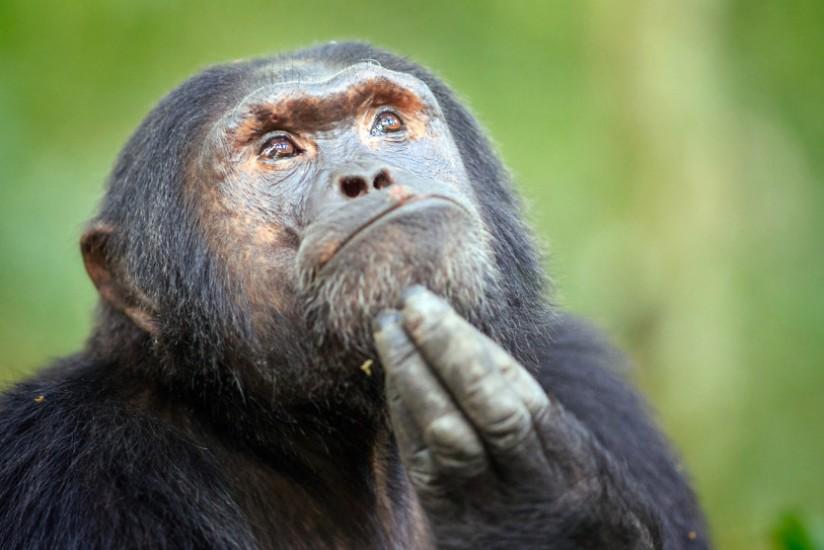 The Pensive Primate